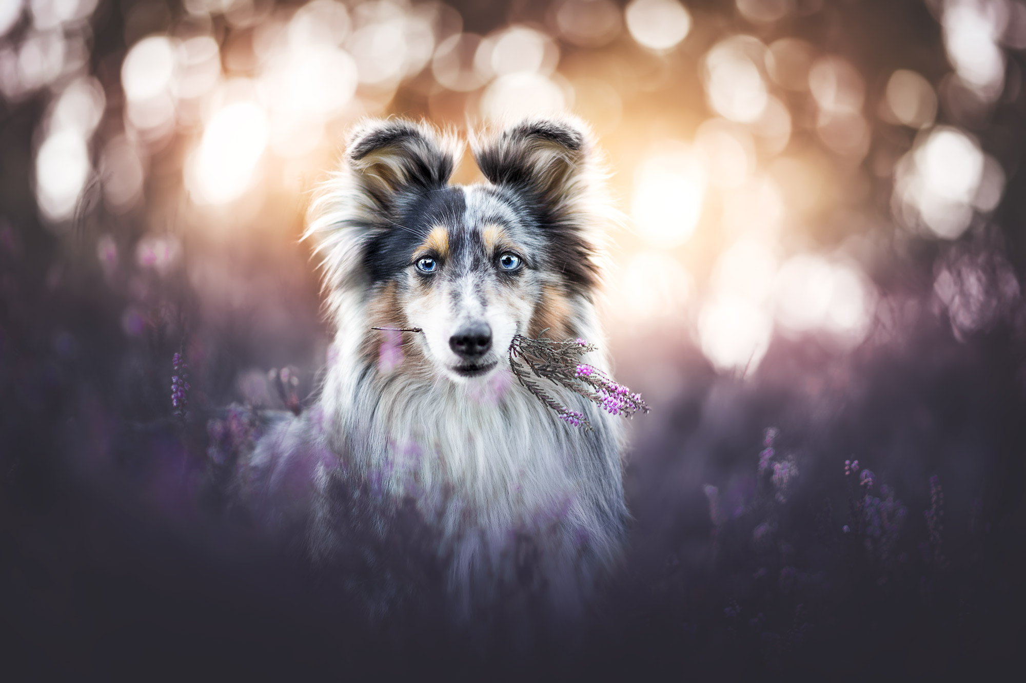 Sheltie in Heide